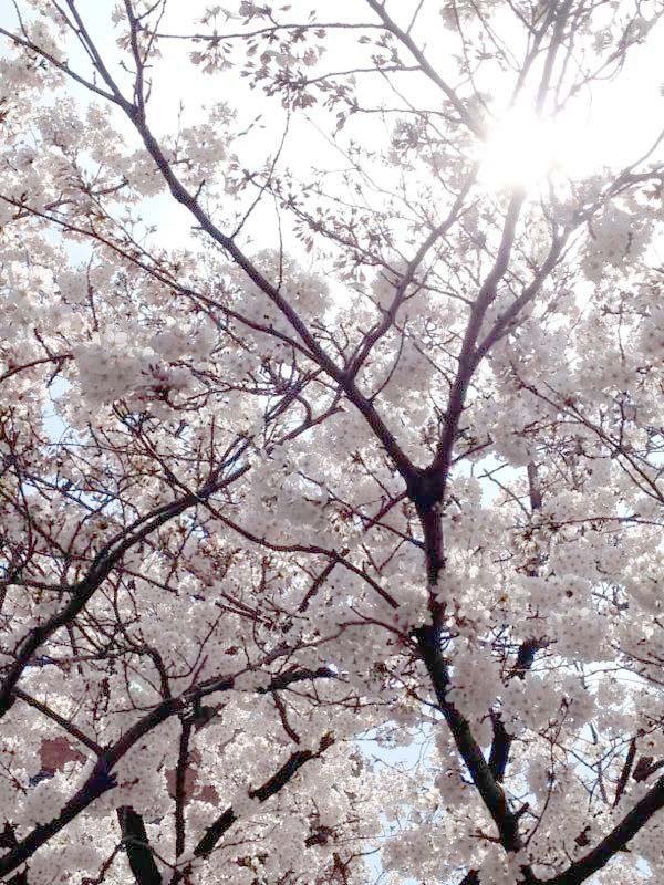 th_150403_sakura